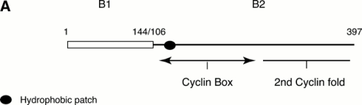 The NH2 terminus of cyclin B1 targets cyclin B2 to the cytoplasm and broadens its activity. (A) Schematic diagram of the chimera constructed between cyclin B1 and cyclin B2. Cyclin B1 is represented by an open rectangle and cyclin B2 by a solid line. The cyclin B1–B2 mutant exchanges at the sequence LCQ in both cyclins (Q106 in B1, and Q144 in B2). (B) The NH2 terminus of cyclin B1 targets cyclin B2 to the cytoplasm. Serum-starved CHO cells were microinjected with expression vectors coding for a Golgi marker NAGT–GFP (green) and with a myc epitope–tagged cyclin B1–B2 chimera. After 6 h, the cells were fixed and stained with an anti-myc epitope antibody (red). (C) The NH2 terminus of cyclin B1 confers some of the properties of cyclin B1 on cyclin B2. Serum-starved CHO cells were microinjected with expression vectors coding for a Golgi marker NAGT–GFP and CDK1AF with a cyclin B1–B2 chimera. After 6 h, the cells were fixed and stained with an anti–β-tubulin antibody or with an antilamin antibody and TOTO-3. Cells are representative of >150 cells analyzed in three separate experiments. Bars, 10 μm.