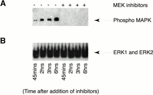 MEK activity is not required for Golgi disassembly in normal mitosis. (A and B) CHO cells were serum starved for 36 h and then stimulated with DME plus 10% serum. At 18 h, the MEK inhibitors U0126 (25 μM) and PD98059 (20 μM) were added to one set of cells. Samples were taken for flow cytometry analysis and for immunoblotting at 45 min and 2, 3, and 6 h after adding MEK inhibitors while cells were progressing through mitosis. Flow cytometry showed that the peak of mitosis was at 3 h after addition of inhibitors (data not shown). Samples were processed to detect phophorylated ERK1 and ERK2 (A) and total ERK1 and ERK2 (B) as in the legend to Fig. 6. Results shown are representative of three independent experiments. (C) CHO cells were serum starved and refed and the MEK inhibitors U0126 (25 μM) and PD98059 (20 μM) were added to one set of G2 phase cells as in A and B. DMSO was added to the other set. 3 h later, cells were processed for immunofluorescence with antigiantin antibodies (green) and TOTO-3 to stain the DNA (blue). Cells at various stages of mitosis are shown and are representative of >100 cells examined in three independent experiments.