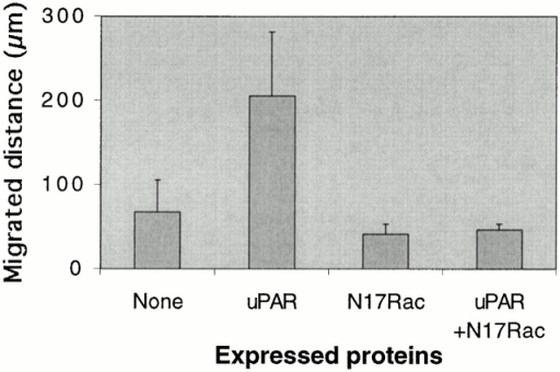 Effect of uPAR expression on cell motility. Swiss 3T3 cells in growth medium were injected with pRc/CMV-uPAR (100 μg/ml) and/or pRK5–myc-N17Rac (20 mg/ml), and the average distance migrated in 3 h was calculated. The effects of uPAR expression and the effect of N17Rac expression on the uPAR-induced increase in migration were found to be statistically significant by Student's t test (P < 0.0001). Results are mean ± SD from examination of at least 12 individual cells.