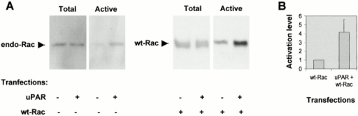 Effect of uPAR expression on Rac activity in growing NIH 3T3 cells. (A) NIH 3T3 cells were transfected by electroporation with pRC/CMV-uPAR and/or pRK5–myc-wtRac as indicated. PRK5-myc transfection was used as a control. The levels of total cellular Rac and GST–PAK–CRIB precipitated active Rac were determined by SDS-PAGE on 15% gels followed by immunoblotting for Rac. Results shown for endogenous Rac activation are for cells lysed 4 h after transfection. Results shown for cotransfected wtRac activation are for cells lysed 16 h after transfection. (B) The level of activated Rac from cells lysed 16 h after transfection with pRK5–myc-wtRac or pRK5–myc-wtRac and pRC/CMV-uPAR was quantified by density scanning using NIH Image software. The ratio of activated to total Rac was determined and results are expressed relative to the Rac activity in cells transfected with pRK5–myc-wtRac. Results are mean ± SD from three independent experiments.