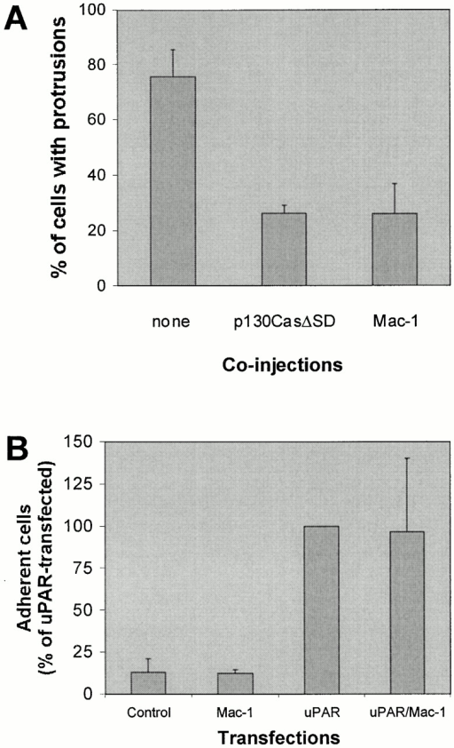 Effect of p130CasΔSD and Mac-1 on uPAR-induced protrusions. (A) Swiss 3T3 cells in growth medium were coinjected with pRC/CMV-uPAR (100 μg/ml) and either one of the expression plasmids pSSRα-p130CasΔSD/pEBG-GST-p130CasΔSD or both of the expression plasmids pRK5-CD11b and pRK5-CD18 (α- and β chain of Mac-1). After 4 h of expression, cells were fixed, stained, and the number of uPAR-expressing cells with clearly identifiable protrusions was determined as described above. Expression of inhibitor constructs was verified by immunofluorescence staining using anti-GST (rabbit polyclonal) or anti-CD11b (clone ICRF 44) as primary antibodies. Expression of untagged and GST-tagged p130CasΔSD gave identical results and the data were averaged for presentation. Data are average ± SD for at least three experiments, each examining 100 injected cells. (B) NIH 3T3 cells transfected with pEGFP-C1 and empty vector or pRC/CMV-uPAR and/or pRK5-CD11b and pRK5-CD18 as indicated were subjected to detachment assays (see Materials and Methods for details) in the presence of 5 mM EDTA. Results are expressed as the fraction of adherent cells relative to the number uPAR-transfected adherent cells under these conditions. Results are mean ± SD of three experiments each performed in triplicate.