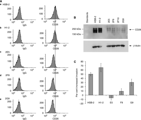SDF-1-α-mediated invasion is higher in HSB-2 cells than in CD26-depleted clones. (A) Cell-surface expression of CD26 on HSB-2 cell lines. (a) HSB-2 parental (b) H1-2 (c) 2E5 (d) 2F8 (e) 2G9. Left: cells incubated with PE-labeled isotypic control IgG. Right: cells incubated with PE-labeled anti-CD26 antibody. (B) Expression of CD26 in whole-cell extracts. Equal amounts of protein were run in each lane of a 7.5% gel, transferred to nitrocellulose, and probed with anti-CD26 antibody. Lanes contained HSB-2 parental cells, H1-2, and four clones depleted of CD26: 2E5, 2F8, 2F10, and 2G9. Note that CD26 runs as a dimer (see Materials and Methods). The multiple bands are due to differences in glycosylation. (C) Invasion assay (details in Materials and Methods). Assays were carried out for 24 h, at which time the cells were counted in all wells. Percentage invasion is the number of cells which passed through the transwell divided by the total cell number. Error bars are shown for the standard error of the mean.
