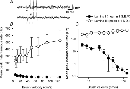 Differentiation of the low-threshold inputs to lamina I neurons from low-threshold inputs to lamina III neuronsA, raw responses from a single lamina III spinoparabrachial neuron showing collision of the first antidromic impulse in a train of 3 (150 Hz, upper trace) when an orthodromic impulse (asterisk, lower trace) occurred within the critical interval. The arrowhead indicates the point at which the first antidromic response should have occurred. B, stimulus–response curves from the population of lamina I neurons and the single 'wide dynamic range' lamina III neuron to graded velocity brushing. Note how evoked discharge increases for the lamina III neuron. C, same data as in B but transformed logarithmically.