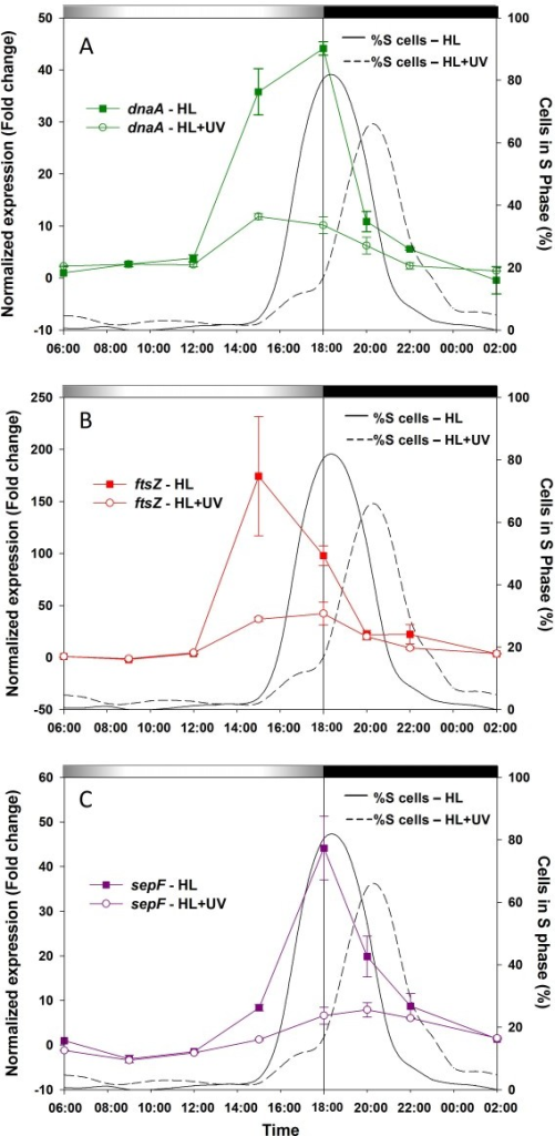 Gene expression patterns of L/D-synchronized Prochlorococcus marinus PCC9511 cultures under HL and UV growth conditions, as measured by qPCR. A, dnaA. B, ftsZ. C, sepF. The percentage of cells in the S phase of the cell cycle under HL (solid line) and HL+UV (dashed line) are also shown for comparison. Error bars indicate mean deviation for two biological replicates. For each graph, transcript levels were normalized to the reference time point 6:00 in HL condition. Grey and black bars indicate light and dark periods.