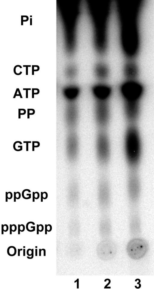 Detection of (p)ppGpp in B. burgdorferi B31 grown at 34°C in BSK-H in the presence (lane 1) or absence (lane 2) of 6% rabbit serum, or in BSK-H at 23°C in the presence of 6% rabbit serum (lane 3). Similar amounts of (p)ppGpp were detected in cells under all three culture conditions.