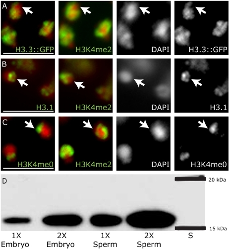 Mature sperm chromatin retains epigenetic information established in meiosis.Antibody staining for H3.3::GFP, H3.1 and H3K4me0 compared to antibody staining for H3K4me2 in mature hermaphrodite spermatids. (A) H3.3::GFP has substantial overlap with H3K4me2, but is depleted from the X region (arrow), which lacks H3K4me2. In contrast, both H3.1(B) and H3K4me0 (C) are enriched on the X chromosome, marked by a lack of H3K4me2 (arrows). Antibodies (green) with DAPI (red). Scale bars, 5 um. (D) H3 is abundant in mature sperm chromatin at levels near that of embryonic chromatin by western blot analysis. Lanes were loaded with DNA equivalents as indicated. 1) embryo 1X DNA, 2) embryo 2X DNA, 3) sperm 1X DNA, 4) sperm 2X DNA.