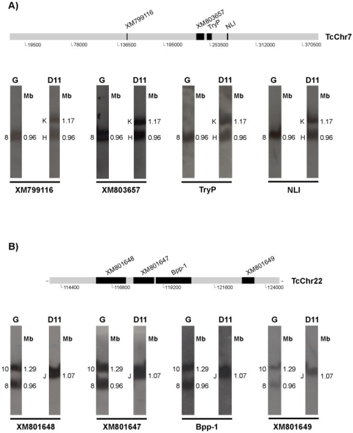 Identification of possible chromosomal rearrangements in clone D11.Mapping of markers belonging to in silico chromosomes TcChr7 (Panel A) and TcChr22 (Panel B). Identification of chromosomal rearrangements involving one band in the G strain and two bands in clone D11 (Panel A) or vice versa (Panel B). The positions of the markers used as radiolabeled probes are indicated in the diagrammatic representation of the in silico chromosomes. Markers from TcChr7 are XM_799116, XM_803657, TryP and NLI. Markers from TcChr22 are XM_801648, XM_801647, Bpp-1 and XM_801649. Gene identification and GenBank accession number of each marker are shown in Table 1.