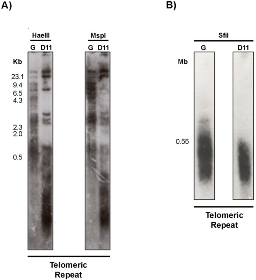 Telomere length polymorphism of the G strain and clone D11.Panel A) Southern-blot hybridization of restriction fragments generated by HaeIII and MspI probed with the telomeric repeat (TTAGGG). HaeIII-digested phage lambda DNA (used as a molecular weight marker) is shown on the left. Panel B) Analysis of the subtelomeric length of the G strain and clone D11 chromosomes was performed by Southern-blot hybridization of SfiI restriction fragments with the telomeric repeat. The size of the larger subtelomeric fragment of clone D11 is shown on the left.