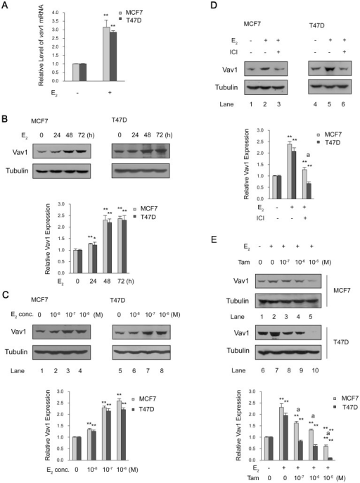 "ER-mediated Vav1 expression.(A) MCF7 and T47D cells were treated with E2 (10−7 mol/L) or DMSO for 24 h. The relative level of vav1 mRNA was determined by qRT-PCR and was presented by the ratio of vav1 mRNA of E2-treated samples to that of DMSO-treated control samples and presented as y-axis. The data represented the mean value±S.D. of three independent experiments. (B and C) MCF7 and T47D cells were exposed to E2 (10-7 mol/L) for 0 to 72 h (B), or increasing concentration of E2 for 48 h (C). (D and E) MCF7 and T47D cells were pre-treated with ICI 182,780 (4×10−7 mol/L) (D) or increasing concentration of Tamoxifen for 30 min (E) before adding E2 (10−7 mol/L) for 48 h. The DMSO treatment was used as a solvent control. The Vav1 expression in above treated samples was analyzed by Western Blot with anti-Vav1 antibody, with tubulin as protein loading control. The bar chart below each example blot represents the normalized protein level of Vav1 to Tubulin of three independent experiments. The DMSO treatment was set as 1 to indicate the basal level of Vav1 expression. ""**"" indicates P<0.01 versus DMSO treatment and ""a**"" indicates P<0.01 versus E2 treatment by unpaired student T test."
