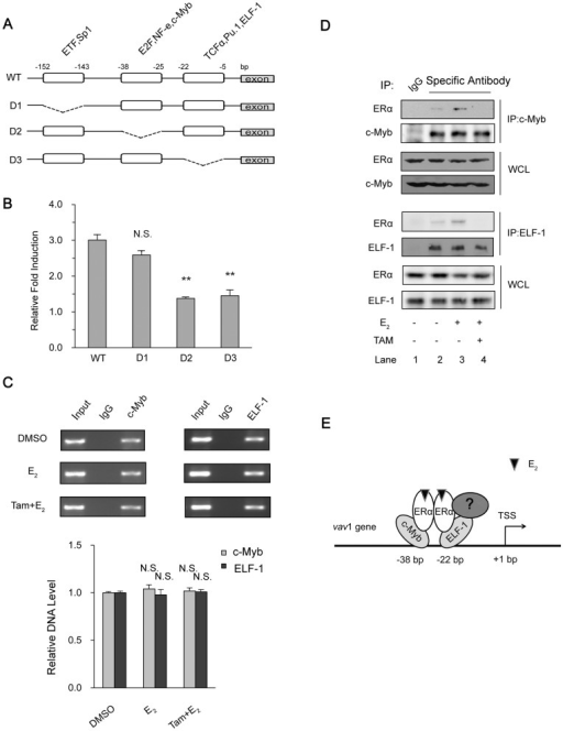 "Analysis of transcription factors involved in ERα-activated vav1 promoter.(A) Depicted deletion mutations in vav1 promoter reporter gene. The deleted regions were indicated by break lines. (B) MCF7 cells were transfected with plasmids containing luciferase under WT or mutated vav1 promoters (D1, D2, and D3) and then treated with E2 (10−7 mol/L) or DMSO for 48 h. The relative fold induction of each group was calculated as the ratio of the luciferase activity induced by E2 to that induced by DMSO, respectively, and plotted as y-axis, and the deletion mutants were presented as in x-axis. All the data represented the mean±S.D. of three independent experiments. ""N.S."" and ""**"" indicates P>0.05 and P<0.01, respectively, versus D1 group by unpaired student T test. (C) ChIP assay. T47D cells were treated with E2 (10−7 mol/L) for 4 h or pre-treated with Tamoxifen (10−6 mol/L) for 30 min before treating with E2 (10−7 mol/L) for 4 h. The immunoprecipitation was performed using antibodies against c-Myb (left panels) or ELF-1 (right panels), with preimmune IgG as control. The precipitated DNAs were analyzed by PCR with the primers corresponding to position −232 to +71 of vav1 promoter. The bar chart below the example blot represents the normalized DNA level of −232 to +71 to Input of three independent experiments. ""N.S."" indicates P>0.05 versus DMSO treatment by unpaired student T test. (D) The association of ERα with c-Myb and ELF-1. T47D cells were treated with E2 (10−7 mol/L) or DMSO for 4 h or pretreated with Tamoxifen (10−6 mol/L) for 30 min in prior to E2 treatment and lysed. Antibodies against c-Myb (upper panels) and ELF-1 (lower panels) or control IgG (Lane 1) were used to immunoprecipitate protein complex, which were then resolved by Western Blot with indicated antibodies. (E) The proposed model for ERα modulating the vav1 promoter activity. E2-activated ERα interacts with vav1 promoter via interacting with transcription factors such as c-Myb, ELF-1, or perhaps other unknown coregulators (labeled ""?"") to promote the vav1 transcription."