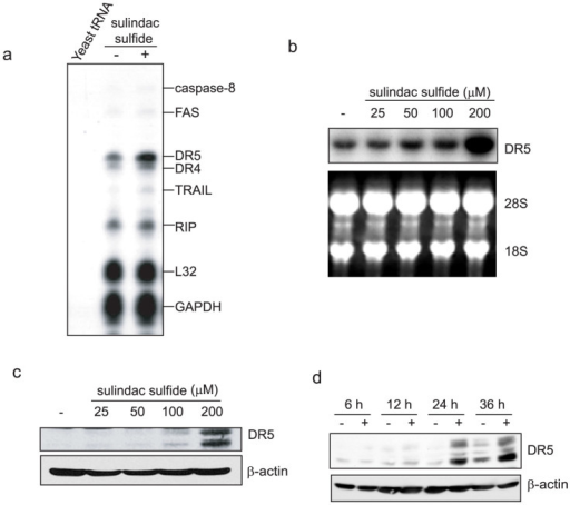 Sulindac sulfide induced DR5 expression in SW480 cells.(a) RNase protection assay. SW480 cells were treated with or without 200 μM sulindac sulfide for 24 h. Total RNA from SW480 cells was hybridized with probes, and then digested with RNase as described in the Materials and Methods. The housekeeping genes GAPDH and ribosomal protein L32 are shown as controls. (b) Northern blot analysis. SW480 cells were treated with various concentrations of sulindac sulfide for 24 h. Total RNA was probed with human DR5 cDNA. Ethidium bromide staining of 28S and 18S rRNA are shown as loading controls. (c) Western blotting for DR5. SW480 cells were treated with the indicated concentrations of sulindac sulfide for 24 h. β-actin was used as a loading control. (d) Western blotting for DR5. Cells were treated with or without 200 μM sulindac sulfide for the period indicated. β-actin was used as a loading control. −, treated with solvent DMSO.