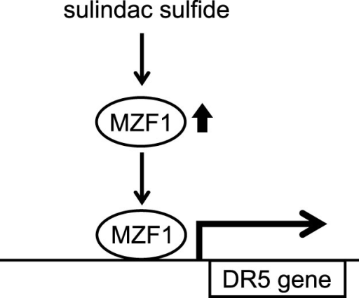 The scheme of mechanisms enhancing DR5 expression by sulindac sulfide.Sulindac sulfide increases MZF1. The transcription factor MZF1 then upregulates DR5 promoter activity through its binding site.