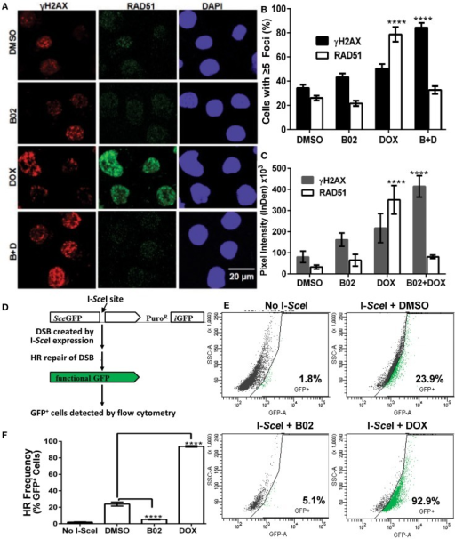 B02 inhibits DOX-induced formation of RAD51 foci, increases persistence of γH2AX foci, and inhibits HR repair of I-SceI-induced chromosomal DSBs in MM cells. (A–C) MM.1S cells, exposed 24 h to DMSO, B02 (20 μM), DOX (160 nM), or B02 + DOX, were examined by immunofluorescence to identify foci, and DAPI staining to define nuclei. (A) Representative images of RAD51 and γH2AX foci in cells exposed to chemicals indicated at left. (B) Mean percent of cells with ≥5 RAD51 or γH2AX foci, ±SEM, after the exposures indicated; data were combined from three experiments. ****p < 0.0001 for the effect of each drug treatment, relative to DMSO (vehicle) alone. (C) Mean fluorescence (integrated pixel intensity per nucleus) ±SEM, of RAD51 and γH2AX foci after the drug exposures indicated. ****p < 0.0001, as in (B). (D–F) B02 inhibits HR repair of I-SceI-induced chromosomal DSBs in MM cells. (D) Scheme of HR at a cleaved I-SceI site within the integrated DR-GPF locus. Chromosomal DSBs are first introduced at the single insertion site of the DR-GFP reporter, via cleavage at a unique I-SceI site by site-specific endonuclease introduced by adenovirus infection. HR repair of these DSBs creates intact GFP genes, detected by flow cytometry. (E) Examples of flow-cytometric analysis of MM.1S-DR-GFP cells, wherein GFP fluorescence (x axis signal) beyond the control boundary (segmented line) indicates HR repair. Background signal (1.8% of cells), defined in cells without I-SceI introduction, rose to ~24% after I-SceI expression. Lower panels show results for I-SceI-exposed cells +B02 (~5% GFP+) or +DOX (~93% GFP+). (F) Summary of combined data from runs such as those illustrated in (E), for cells without I-SceI infection (mock), cells treated with vehicle (DMSO), 20-μM B02, or 160-nM DOX for 24 h after transient infection with I-SceI expression adenovirus (AdNUGS24i). HR data combined from three experiments are presented as means ± SEM. Statistical significance between groups (each n = 3) by two-tailed t-tests: ****p < 0.0001.