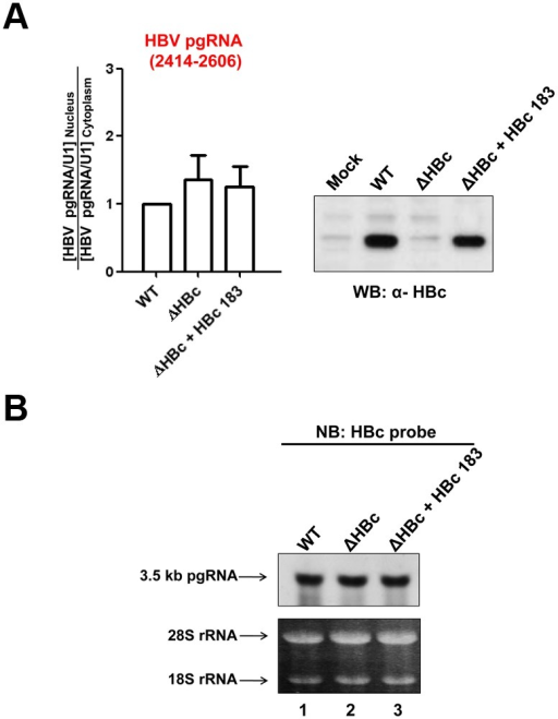 HBV core protein (HBc) exhibited no significant effect on nuclear export of the 3.5 kb pgRNA.A) HuH-7 cells were transfected with various plasmids of HBV genomes (based on plasmid pCHT-9/3091), containing wild type (WT) HBc, mutant ΔHBc (a core-deficient HBV genome), and a combination of ΔHBc and an expression vector of full-length HBc 183, respectively. HBV RNAs were extracted from nuclear and cytoplasmic compartments according to the Vendor's protocol (Materials and Methods). Plasmid ΔHBc resulted in no apparent effect on the relative distribution of HBV pgRNA levels between nucleus and cytoplasm (N/C) by RT-qPCR analysis. The N/C ratio of HBV pgRNA from a WT HBV genome (plasmid pCHT-9/3091) was shown as 1. HBc protein expression was monitored by Western blot analysis (right panel). The graph represents an average from at least three independent experiments. B) Northern blot analysis revealed no significant reduction of the 3.5 kb pgRNA, in the cytoplasm of HuH-7 cells transfected with either a ΔHBc mutant or a combination of plasmids ΔHBc and HBc 183. Ribosomal RNA was included as an internal control for sample loading.