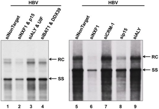 Interference with the NXF1-p15 complex reduced HBV DNA synthesis.HuH-7 cells were transiently co-transfected with an HBV genome (plasmid pCHT-9/3091) and siRNAs, followed by Southern blot analysis using HBV probe (nt 1521–3164) (Fig. 1). Upon treatment with siRNAs specific for p15 or NXF1-p15 complex, HBV replication was significantly inhibited. In contrast, no apparent effect on HBV replication was noted by treatment with various siRNAs specific for TREX components and CRM-1. RC: relaxed circle DNA, and SS: single-strand DNA.