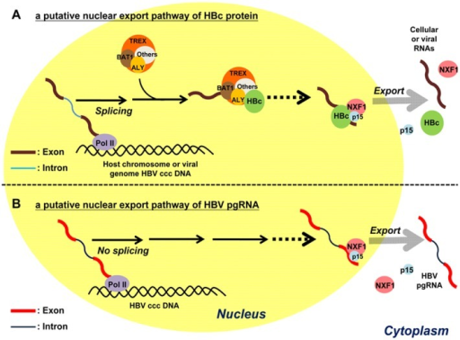 A graphic summary of the nuclear export of HBV pgRNA and HBc.A) A cartoon illustrates a putative nuclear export pathway of HBc protein. HBV DNA genome can exist episomally as a covalently closed circular form (ccc DNA) in the nucleus, which can serve as a template for pol-II mediated RNA transcription [3]. Pre-mRNA processing and nuclear export are known to be tightly coupled by the TREX complex, which consists of ALY, BAT1, and others (other known or unknown cellular factors) [65]. HBc protein can associate with ALY, but not BAT1. Dotted line indicates that the exact sequence or molecular mechanism remains unclear. HBc protein can also associate with NXF1 and p15. It is speculated here that the NXF1-p15 export machinery can recognize a stable RNP complex between HBc protein and RNA of either viral or cellular origins. B) Nuclear export of the 3.5 kb non-spliced pgRNA is dependent on the NXF1-p15 machinery. The exact molecular mechanism of pgRNA export remains to be further investigated in the future.