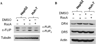 RocA downregulates c-FLIP. (A and B) HepG2 and Huh-7 cells were treated with RocA (100 nM) for 12 h. The cell lysates were analyzed using western blot analysis with the antibodies indicated. The control is represented by cells treated with DMSO only. Results are representative of three independent experiments. RocA, rocaglamide; DMSO, dimethyl sulfoxide; c-FLIP, cellular FLICE-like inhibitory protein; DR, death receptor.
