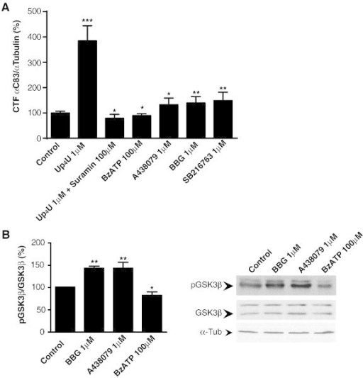 Purinergic receptors regulate α-secretase and GSK-3 activities in N2a cells. (A) Protein levels of CTF C83 detected in N2a cells treated with the P2Y2R agonist Up4U (1 μM), both suramin (100 μM) and Up4U (1 μM), BzATP (100 μM), A438079 (1 μM), BBG (1 μM), or SB216763 (1 μM). Histogram represents the mean ± SEM of CTF C83/α-tubulin ratios normalized to control untreated cells (n = 4 independent experiments in duplicate). (B) Western blot detection of p-GSK-3β (pSer9) and total GSK-3 in N2a cells treated with BBG (1 μM), A438079 (1 μM) or BzATP (100 μM). Histogram represents the mean ± SEM of p-GSK-3β/total GSK-3β ratios (n = 3 independent experiments in duplicate). In all cases, α-tubulin was used as loading control, and ratios were normalized to control untreated cells (100%). *p < 0.05, **p < 0.01, ***p < 0.005 compared to control using ANOVA with Dunnet´s post-test analysis. For methods see Ref. [49].