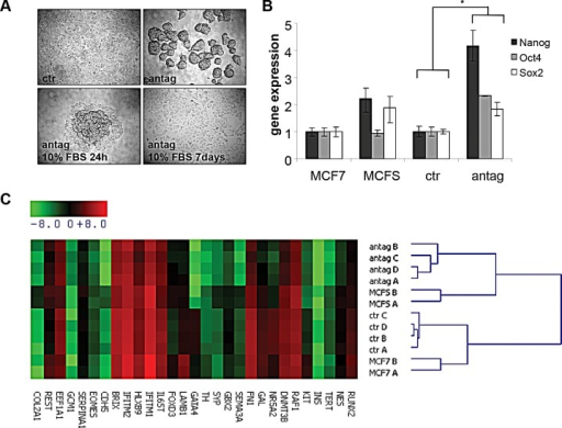 MiR-100 inhibition induces a stem-like phenotype in breast cancer cellsA, phase contrast images of MCF7 cells transiently transfected with a control (ctr) or a miR-100 specific antagomir (antag). Following miR-100 antagomir transfection, obtained mammospheres retained the ability to differentiate when cultured in DMEM 10% Foetal Bovine Serum (antag 10%FBS 24h; antag 10%FBS 7 days). Magnification 4x. B, stem cell transcription factors expression in control and antagomir transfected cells, analyzed by quantitative RT-PCR. Data are average ± SD of biological replicates. MCF7 cells and mammospheres obtained from MCF7 cells upon growth in stem cell conditions (MCFS) were used as controls. * P< 0.05. C, stemness and pluripotency gene expression profiling of the cells described in (B) performed using TaqMan gene expression arrays. Gene expression is reported as −ΔCT (CT gene – CT GAPDH) median-centered. A, B, C and D indicate biological replicates.