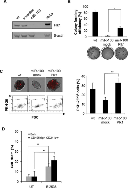 MiR-100 impairs CSC properties by down-regulating Plk1A, Western blot analysis of Plk1 expression in wt, scramble or miR-100 transduced BrCSCs; a total protein lysate of HeLa cells was used as a positive control. B, colony forming efficiency of wt and miR-100 expressing BrCSCs transduced with either an empty vector (mock) or Plk1, assessed by soft agar assay; histogram shows the quantitative analysis. Data are average + SD of 3 independent experiments. C, representative fluorescence microscopy images of BrCSCs transduced as in (B) and labelled with PKH-26 (upper left). Flow cytometry analysis of PKH-26 in cells transduced as in (B) after 14 days of culture (bottom left) and the corresponding quantification (right). D, Analysis of BrCSC mortality in bulk and CD49fhigh/CD24low sorted BrCSCs upon treatment with the Plk1 inhibitor BI2536 (10nM) for 72 hours. The experiments were performed in triplicates. UT: untreated.