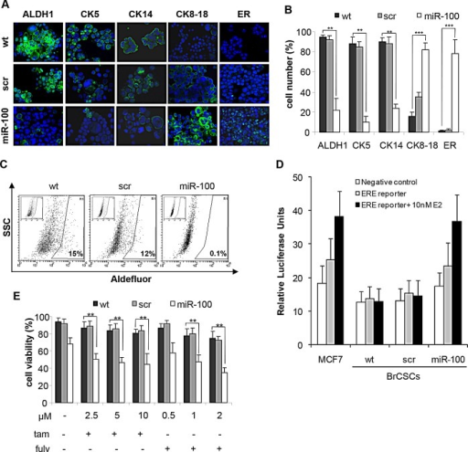 Ectopic expression of miR-100 reduces stem cell markers, promotes luminal differentiation and renders basal-like BrCSCs responsive to endocrine therapyA, representative confocal microscopy images of immunofluorescence (IF) analysis of ALDH1, Cytokeratins (CK5, CK14, CK8-18) and estrogen receptor (ER) performed in BrCSCs (P5) wt and stably expressing either a control scramble or miR-100. Nuclei were counterstained by Toto-3 (blue). Magnification 40x. B, quantification of the IF staining shown in (A), performed in three independent replicates. ** P<0.01 *** P<0.001. C, representative FACS analysis of Aldefluor assay performed in wt, scramble and miR-100 BrCSCs. Cells were exposed to Aldefluor substrate (BAAA); cells treated with the specific inhibitor of ALDH1 (DEAB) are shown in the insert panels and were used to define the population with low and high (gated region) ALDH1 activity. D, representative analysis of ER-dependent transcriptional activity. The assay was performed in wt, scramble and miR-100 BrCSCs, non transfected (negative control) or transfected (ERE-reporter) with a construct where an Estrogen Responsive Element (ERE) containing promoter drives luciferase expression. Luciferase activity was evaluated in the absence or in the presence of 10nM 17-β-estradiol (E2). MCF7 cells were used as positive control of response to estradiol. E, Analysis of BrCSC viability upon treatment with tamoxifen (tam) and fulvestrant (fulv) at the indicated doses. The experiments were performed in triplicates. ** P<0.01.