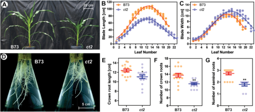 A Gα- line decreases longitudinal growth in shoots and roots. (A) Five-week-old seedlings of B73 and the Gα- ct2 mutant. Scale bar=20cm. (B, C) Leaf length and width of B73 and ct2. Panels show raw values of B73 (orange dots, n=5) and ct2 (blue dots, n=4) with a curve fitted by the Gaussian distribution function. (D) Representative roots of 16-d-old B73 and ct2 seedlings grown in 2.0 l Erlenmeyer flasks. A scale shows 5cm. (E, F, G) The longest crown root length (E) was measured on the 14th day, and number of crown roots (F) and seminal roots (G) were measured on the 20th day. Panels show raw values of B73 (orange dots, n=16) and ct2 (blue dots, n=16). Bars represent the means with standard errors of the mean. * or **, respectively, signifies a significant difference between B73 and ct2 groups at the P value less than 0.05 or 0.01, by the two-tailed Student's t test. n.s. signifies no significant difference at the P value of 0.05. Quantitated values are presented in Supplementary Table S1 at JXB online.