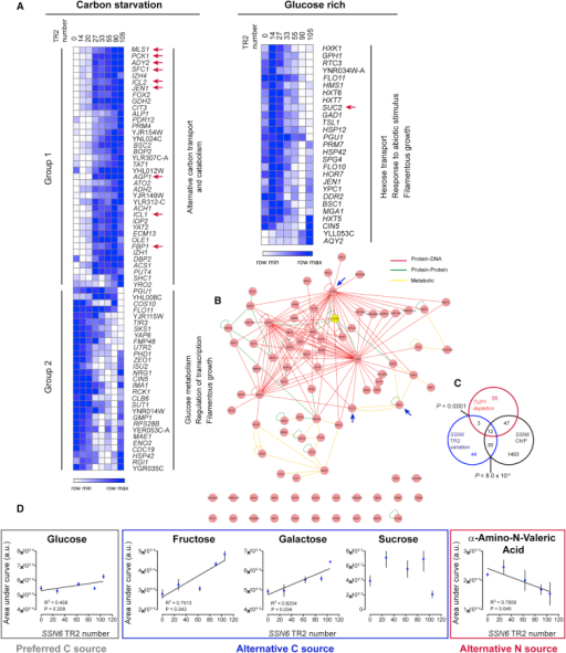Whole-Genome Transcriptomics Reveal that Variation in the SSN6 TR2 Region Influences the Expression of Target Genes(A) Expression profiles for genes (rows) in different SSN6 TR2 variants (columns) in carbon-starved (left) or glucose-rich medium (right) measured by RNA-seq. The data are represented as relative to the expression levels in the WT (TR2-63), and similar colors indicate similar changes in expression relative to the WT strain. Enriched biological processes (Gene Ontology [GO] categories) of the target genes are shown (p < 0.05). Genes highlighted with arrows are key genes involved in alternative carbon transport and catabolism. The SUC2 gene that encodes the major sucrose-hydrolyzing enzyme is also highlighted. See also Figure S4 and Table S4.(B) Many genes showing SSN6 repeat-dependent variation in expression are known targets of Ssn6. The figure represents a functional network of all genes whose expression is affected by SSN6 TR2 variation, with edge colors representing different types of interactions.(C) Venn diagrams showing the overlap between genes whose expression is SSN6 TR2-dependent, genes with Ssn6-bound promoters (enrichment of 1.5-fold over background) (Venters et al., 2011) and genes showing de-repression upon TUP1 depletion from the nucleus (Wong and Struhl, 2011). The overlapping p values between our RNA-seq dataset and the other datasets were estimated by a chi-square test with Yates' correction.(D) SSN6 TR2 variation confers environment-dependent changes in fitness. The correlation between fitness and SSN6 TR2 number was assessed by a linear regression test. Data points represent mean ± SD, n = 3.