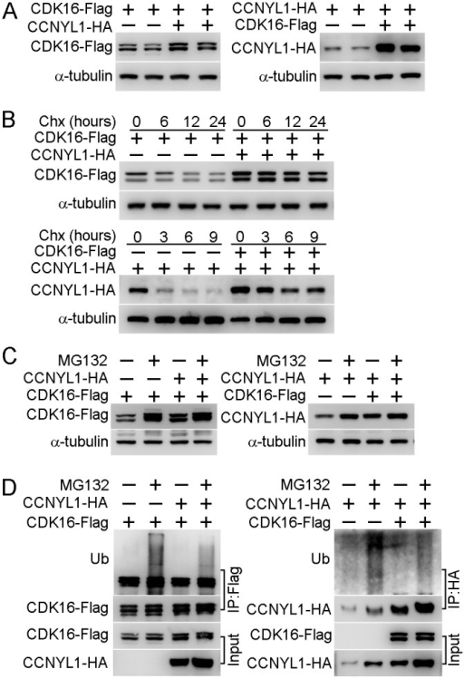 The interaction of CCNYL1 and CDK16 and protection of protein stability.(A) CDK16-Flag and CCNYL1-HA were either expressed alone or together in HEK293T cells. Protein expression levels were measured by western blotting. (B) CDK16-Flag and CCNYL1-HA were either expressed alone or together in HEK293T cells for 24 hours followed by incubation with 10 μM cycloheximide for the indicated times. Protein levels were measured by western blotting. (C) CDK16-Flag and CCNYL1-HA were either expressed alone or together in HEK293T cells for 24 h followed by incubation with 10 μM MG132. Then, cells were harvested at 24 h for the detection of CDK16-Flag, or at 6 h for the detection of CCNYL1-HA. Protein levels were measured by western blotting. (D) CDK16-Flag and CCNYL1-HA were either expressed alone or together in HEK293T cells for 24 hours followed by incubation with 10 μM MG132 for 6 h. The CDK16-Flag and CCNYL1-HA protein were immunoprecipitated for the detection of their ubiquitination levels by western blotting.