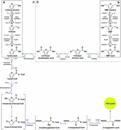 Metabolic pathways of furfural (A) and HMF (B) degradation in A. resinae ZN1. Solid boxes (a, b) were based on the previous experimental phenomena [24]. Blue arrows were adapted from Trudgill [18] and Koopman et al. [20]. ACC, acceptor, either oxidized (ox) or reduced (red). ADH alcohol dehydrogenase, AKR aldo–keto reductase, ARI aldehyde reductse, ALDH aldehyde dehydrogenase