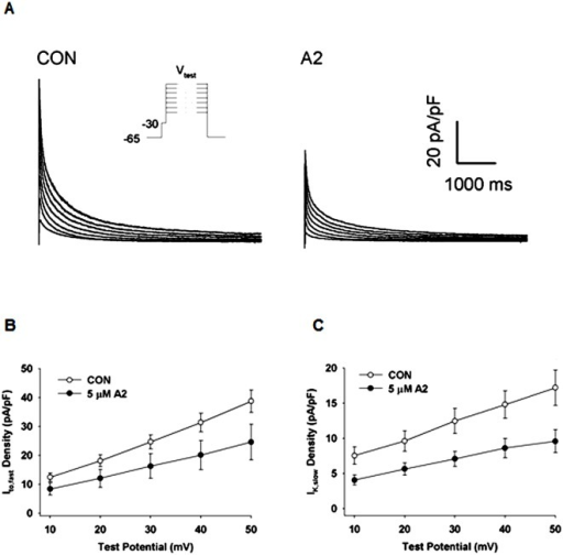A2 induced reductions in Ito,fast and IK,slow.(A) Representative traces of total outward K+-currents recorded from untreated (CON) LV myocytes and those treated with 5 μM. Outward currents were elicited with 6 s test potentials ranging from -10 mV to +50 mV from a holding potential of -65 mV with a 10 ms prepulse to -30 mV to inactivate the fast Na+ current, as shown in the inset. Voltage dependences of peak Ito,fast(B) and IK,slow(C) densities were determined by curve fitting two exponentials to the recorded current traces. Based on ANOVA statistical analyses, the overall responses differ significantly (Ito,fast P = 0.005, and IK,slow P = 0.001). Post hoc statistical analyses of A2 induced changes at each voltage were all significant (P < 0.05).