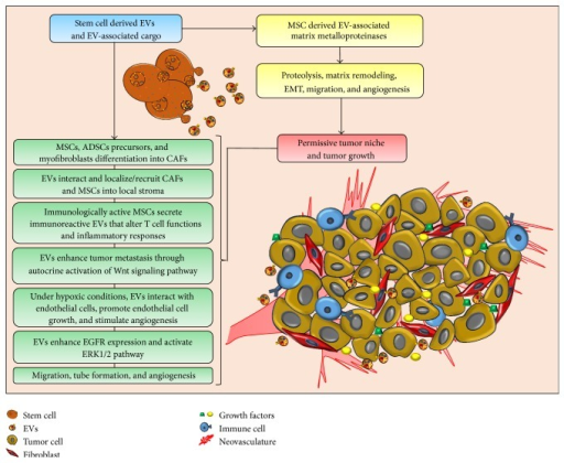 Contribution of stem cell-derived EVs in the construction of the tumor microenvironment. Stem cell-derived EVs influence the presence of cancer-associated fibroblasts (CAFs), inflammatory immune cells, metalloproteinases, angiogenic growth factors, and regulatory RNAs, which shape the tumor microenvironment. Extracellular matrix (ECM) remodeling, endothelial cell growth, cell migration, and angiogenesis generate a permissive tumor niche.