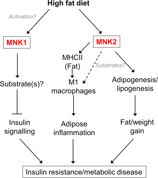Model for the role of MNK1 and MNK2 in mediating the adverse effects of a high fat diet.Please see the Discussion for further information.