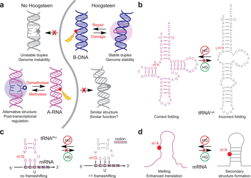Different propensities to form HG bps in B-DNA and A-RNA enable contrasting roles at the genome and transcriptome level. (a) In DNA, m1dA or m1dG damage is absorbed as HG bps that can be recognized by repair enzymes (in red). Had B-DNA lacked the ability to form HG bps, damage could result in duplex melting and genomic instability. In RNA, post-transcriptional modifications resulting in m1rA and m1rG block both WC and HG pairing, melting or modulating RNA secondary structure to favor functional states or effect epigenetic regulation. Had A-RNA had the ability to form HG, the m1rA and m1rG would form HG bps and potentially fail to more significantly alter RNA structure and function. (b) Highly conserved m1rA9 in human mitochondrial tRNALys blocks rA–rU WC base pairing and stabilizes native tRNA structure in which m1rA9 is in a single strand58. The m1rA9 modification would not stabilize native tRNA structure if it were simply absorbed as a HG bp. (c) Highly conserved m1rG37 next to the anti-codon loop37 blocks base pairing between m1rG37 and the first rC in the codon and prevents +1 frameshifting in tRNAPro, which could occur if m1rG37 formed stable HG bp with rC. (d) Proposed mechanism for m1rA enhanced translation through destabilization of secondary structure in the 5′ UTR of mRNA.