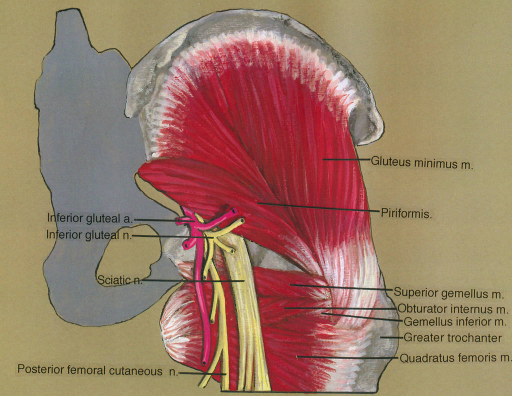 inferior gluteal artery; inferior gluteal nerve; sciatic nerve; posterior femoral cutaneous nerve; gluteus minimus muscle; piriformis muscle; superior gemellus muscle; obturator internus muscle; gemellus inferior muscle; greater trochanter; quadratus femoris muscle
