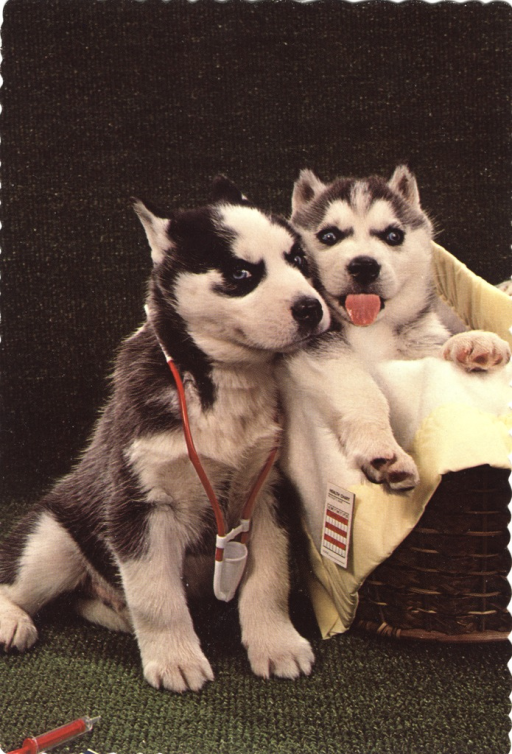 <p>Postcard featuring a color photograph of two Siberian husky puppies. The husky on the left is wearing a toy stethescope around its neck as if it were a nurse or a doctor. The husky on the right is laying in a basket with its tongue sticking out. On the side of the basket is a small card that reads, &quot;health chart&quot;.</p>