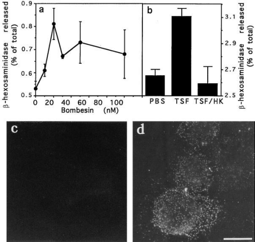 Ca2+ agonists induce a low level of β-hexosaminidase  release and appearance of lgp120 in the plasma membrane. (a)  NRK cells were incubated with different concentrations of bombesin for 5 min, and the incubation buffer was assayed for β-hexosaminidase activity. The amount of enzyme released at each  point is expressed as a percentage of the total content of enzyme  in control cells. The data represent the average of triplicate determinations ± SD. (b) Same as a, except that cells were incubated  for 5 min with PBS, TSF, or heat-inactivated TSF. (c) lgp120 surface staining 5 min after exposure to PBS; (d) lgp120 surface  staining of NRK cells 5 min after exposure to 10 μM bombesin.  Bar, 5 μM.
