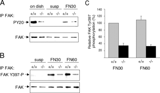 Integrin-stimulated FAK Tyr-397 phosphorylation is impaired in PTPα- cells. (A) Reduced tyrosine phosphorylation of FAK in PTPα−/− cells. FAK immunoprecipitates from PTPα+/+ and PTPα−/− cells adhering to plastic dishes (on dish), retained in suspension (susp), or plated onto FN-coated dishes for 30 min (FN30), were probed with anti-phosphotyrosine antibodies (top panel) or with anti-FAK antibodies (bottom panel). (B) Reduced FAK Tyr-397 phosphorylation in PTPα−/− cells. FAK immunoprecipitates from PTPα+/+ and PTPα−/− cells retained in suspension (susp) or plated onto FN-coated dishes for 30 min (FN30) or 60 min (FN60) were probed with anti-phospho-Tyr397–specific antibodies (top panel), or anti-FAK antibodies (bottom panel). (C) Integrin-stimulated FAK Tyr-397 phosphorylation was quantitated from at least seven independent experiments such as that presented in B and is shown as the mean ± S.D. FAK Tyr-397 phosphorylation in PTPα+/+ cells plated on FN for 30 min was taken as 100%, and the other data was calculated relative to this.