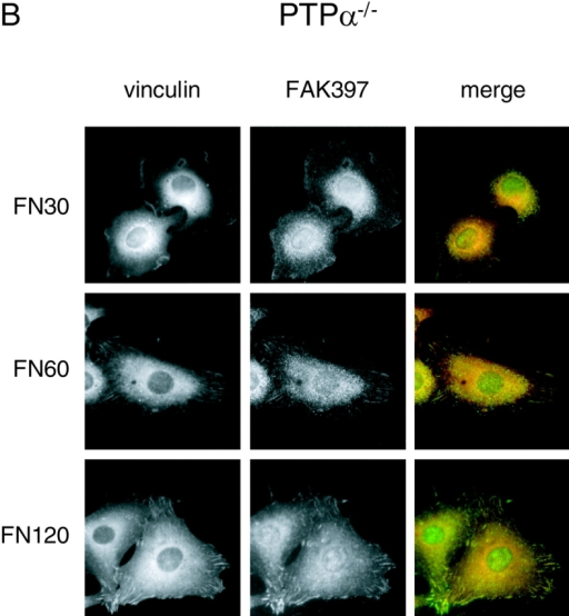 Localization of vinculin and appearance of FAK Tyr-397 phosphorylation in integrin-stimulated cells. Cells were allowed to adhere to FN-coated glass coverslips for 30 min (FN30), 60 min (FN60), and 120 min (FN120), and were then fixed and labeled with mouse monoclonal anti–vinculin antibody (red) and rabbit polyclonal antibodies specific to FAK phospho-Tyr397 (green). (A) Wild-type (PTPα+/+) cells. (B) PTPα−/− cells.