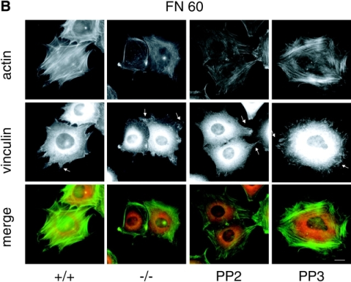 Similar delays in FN-induced actin stress fiber assembly and focal adhesion formation in PTPα−/− cells and PP2-treated wild-type cells. Wild-type (+/+), PTPα−/− (−/−), PP2-treated (PP2), and PP3-treated (PP3) wild-type cells were plated on FN-coated coverslips for 30 (A; FN30) and 60 (B; FN60) min and stained for F-actin (green) and vinculin (red). The arrows highlight focal adhesions. Bars, 10 μm. (C) PP2- or PP3-treated wild-type fibroblasts were plated on FN-coated coverslips for 30 (FN30) and 60 (FN60) min and stained for F-actin (green) and FAK (red). The arrows highlight some putative focal adhesions visualized by high FAK immunoreactivity. Bar, 10 μm.