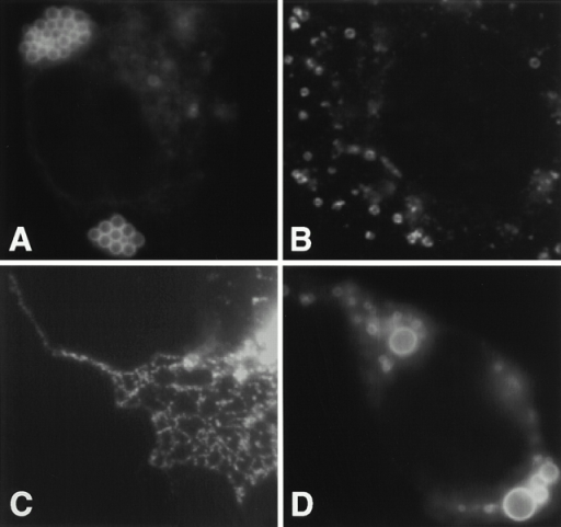 Localization of Cav–KKSL. Cav–KKSL in transiently transfected FRT (A and B) or COS (C and D) cells was visualized by IF.