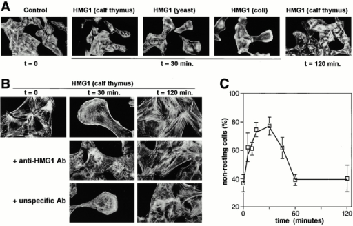 Effect of HMG1 on RSMC morphology and actin cytoskeleton organization. (A) Subconfluent (50–70%) cultures of RSMC were challenged for the indicated times with HMG1 (100 ng/ml), either purified from calf thymus or expressed in yeast or E. coli as indicated. Actin filaments were visualized using TRITC-phalloidin. (B) Anti–HMG1 rabbit antibodies, but not unspecific rabbit antibodies, inhibit HMG1-stimulated cytoskeleton reorganization. RSMC were pretreated overnight with either anti–HMG1 (2 μg/ml) or unspecific control antibodies (2 μg/ml), and then 100 ng/ml HMG1 (from calf thymus) was added. (C) RSMC were stimulated with 100 ng/ml HMG1. Quantification of the actin cytoskeleton reorganization was performed by taking low-magnification photographs and counting the cells in each state of cytoskeleton organization. Resting cells (state 1) exhibit numerous stress fibers. Nonresting cells (state 2) show a reorganization of actin cytoskeleton: a decrease of stress fibers content, membrane ruffling, actin semi-ring with an elongated polarized morphology characteristic of motile RSMC.
