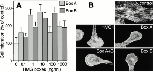 Chemotactic response of RSMC to the HMG box domains of HMG1. (A) Concentration-dependent response to Box A and Box B, both expressed in E. coli. Random cell migration is referred to as 100% migration. The data represent the mean ± SD (n = 3). The statistical significance of the result is P < 0.0001 in an ANOVA model, for both Box A and Box B. (B) Effects of full-length HMG1 expressed in E. coli (100 ng/ml), Box A+B (100 ng/ml), Box A (10 ng/ml), or Box B (10 ng/ml) on actin cytoskeleton organization. Cells were incubated with the indicated molecule for 30 min. Actin filaments were visualized using TRITC-phalloidin.