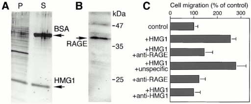 HMG1 binds to the surface of RSMC and stimulates cell motility through RAGE. (A) Large amounts of HMG1 bind to the surface of RSMC. 1 million cells were incubated at 4°C with 800 ng Box A+B and 5 μg BSA. P shows the proteins associated with the cells, after washing, and S shows 20 μl of the medium containing unbound protein. (B) RSMC express RAGE. 1 million cells were lysed on the plate in SDS-PAGE sample buffer, heated for 5 min at 100°C, and then loaded on a 12% tricine gel. RAGE was detected by Western blot with an anti–RAGE antibody. (C) Anti–RAGE antibody inhibits HMG1-induced RSMC migration. The value of 100% corresponds to the number of cells migrating in the absence of any stimulator (random cell migration). The data represent the mean ± SD (n = 3). Statistical significance was 0.001 < P < 0.0001 for treatment with HMG1 and HMG1 + unspecific antibody. Treatments with HMG1 + anti–RAGE antibody, and HMG1 + anti–HMG1 antibody, had no statistically significant difference from the control. Treatment with anti–HMG1 and anti–RAGE antibodies alone also did not differ from the control.