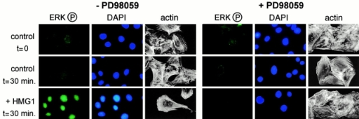 The MAP kinase pathway is involved in HMG1 signaling. RSMC, pretreated or not for 1 h with 50 μM PD98059, were stimulated for 30 min with 100 ng/ml calf thymus HMG1. Cells were then stained with antibodies against phosphorylated ERK1/2 and DAPI. A separate sample of cells were stained with TRITC-phalloidin to visualize the reorganization of the cytoskeleton.