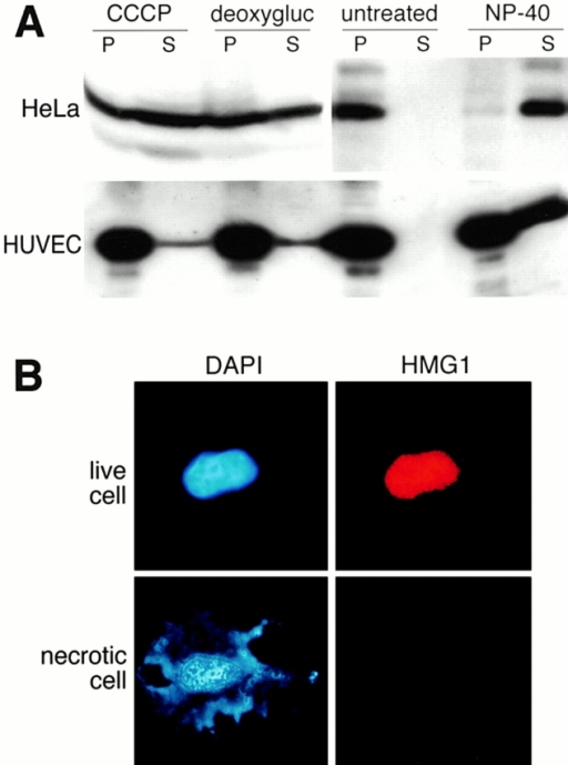 HMG1 is released by necrotic and damaged cells. (A) Western-blot analysis showing the release of HMG1 by necrotic or permeabilized HeLa cells and HUVEC. Cells were induced into necrosis by adding to the medium 5 μM ionomycin plus 20 μM CCCP (CCCP), or 6 mM deoxyglucose plus 10 mM sodium azide (deoxygluc), for 16 h. Alternatively, 0.1% NP-40 was added for 10 min. The presence of the protein in supernatants (S) and cell pellets (P) was detected by Western blot using an anti–HMG1 antibody. The presence of HMG1 in the left two P lanes is due to the fact that only ∼50% of the treated cells underwent necrosis. (B) Immunofluorescence performed on living and necrotic HeLa cells. The cells (untreated or treated with ionomycin + CCCP) were fixed and stained for HMG1 and DNA.