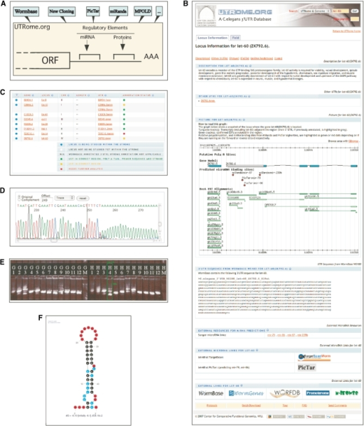 Overview of UTRome.org. The UTRome database integrates diverse information on C. elegans 3′UTRs. (A) Data on 3′UTR boundaries and predicted or experimentally validated functional elements, collected from multiple database sources or analyzed using various computational algorithms, are displayed in a series of user-friendly web pages. (B) 'Locus Information' page: a sample snapshot of aggregated data. (C) Results returned for the query 'lin' in a search limited to genes targeted by the UTRome project. (D) 'ABI trace files' page: a Java applet shows sequence traces for a UST including part of the polyA tail. (E) Excerpt from a 'Gel' page: PCR products from a 96-well cloning experiment indicate evidence for multiple 3′UTR isoforms in well H4 (automatically highlighted by a green box). (F) 'MFOLD' page: secondary structure prediction for a 3′UTR showing putative stem-loop structure.