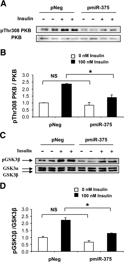 Effect of miR-375 on PKB and GSK3 phosphorylation. A: Analysis of Thr-308-phosphorylation of PKB. INS-1E cells were transfected with pNeg or pmiR-375. Forty-eight hours later, cells were starved in Krebs-Ringer bicarbonate HEPES medium for 2 h and either were or were not stimulated with 100 nmol/l insulin for 5 min. Protein extracts were analyzed by Western blot using antibody to phospho308Thr PKB and total PKB. B: Quantification of Thr-308-phosphorylated PKB. C: Analysis of GSK3β phosphorylation. Protein extracts were analyzed by Western blot using antibody to phosphoGSK3β and total GSK3. D: Quantification of phosphorylated GSK3β. The data presented correspond to three independent experiments, each done in duplicate, ±SE, with n = 3. *P < 0.05.