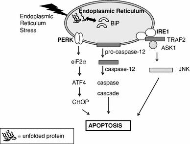 Er Stress Induced Apoptosis Three Main Pathways Of Er