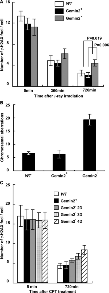 Defective repair of DSBs induced by γ-rays and camptothecin in GEMIN2-deficient cells. (A) Time line of γ-H2AX foci per cell at the indicated time after treatment with 4Gy γ-rays. Results for WT cells and for GEMIN2−/−tetGEMIN2 untreated (GEMIN2+) and treated (GEMIN2−) with doxycycline for 4 days are shown. Error bars represent standard deviation. Statistical analysis was performed using the t test. (B) Ionizing-radiation-induced chromosome aberrations. Mitotic cells were harvested at 6 h after exposure of an asynchronous population of cells to 4Gy γ-rays. Irradiated cells were treated with colcemid for the last 3 h before harvest to enrich the mitotic cells. Results from WT and GEMIN2−/−tetGEMIN2 cells untreated with doxycycline (GEMIN2+) and treated (GEMIN2−) with doxycycline for 4 days are shown. The number of chromosomal aberrations per 50 mitotic cells is shown on the Y-axis. Error bars represent standard deviation. (C) Time course of the formation of γ-H2AX foci per cell at the indicated times after treatment with camptothecin (CPT, 100 ng). Results for WT cells and for GEMIN2−/−tetGEMIN2 untreated (GEMIN2+) and treated (2 days, GEMIN2− 2D; 3 days, GEMIN2− 3D; 4 days, GEMIN2− 4D) with doxycycline are shown. CPT is supposed to induce DSBs only in cells at the S phase, and the number of γ-H2AX foci was counted only in γ-H2AX foci positive cells. Error bars represent standard deviation.