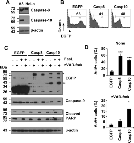 zVAD-fmk does not abrogate over-expressed caspase-10-triggered cell death in HeLa cells.A, Total protein extracts derived from wild-type Jurkat (A3) and HeLa cells were analysed by Western blot using anti-caspase-8, anti-caspase-10 or anti β-actin antibodies. B–D, HeLa cells were transfected with plasmid encoding EGFP, EGFP-tagged wild-type caspase-8 (Casp8) or -10 (Casp10). B, Cells were analysed by flow cytometry 16 hours post-transfection. Values indicated are percentages of EGFP-expressing cells. C, Immediately after transfection, 40 µM zVAD-fmk was added or not to the cell culture medium and cells were further incubated for 24 hours. During the last 8 hours, cells were incubated with or without 1 µg/mL FasL. Protein extracts were analysed by Western blot using the indicated antibodies. Cleaved PARP expression was analysed at low (up panel) and high (low panel) exposure. (*: EGFP-tagged pro-caspase-8 or 10, **: EGFP-tagged small catalytic caspase-8 or -10 subunit). The ≈26 kDa band obtained in caspase-8 and -10 expressing cells remains to be characterized. D, HeLa cells were transfected and cultured for 24 hours in the presence or absence of zVAD-fmk. Cells were labelled with annexin-V/APC. Annexin-V binding analysis was restricted to the EGFP-expressing cells. Data are means ± SEM of five independent experiments. ***p<0.001; * p<0.05.